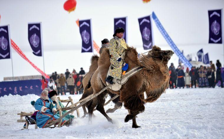 駱駝拉爬犁。