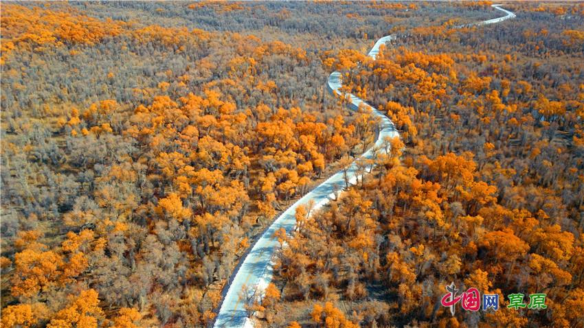 1月3日,位于新疆塔里木河段的轮台县塔里木胡杨林公园秋色(无人