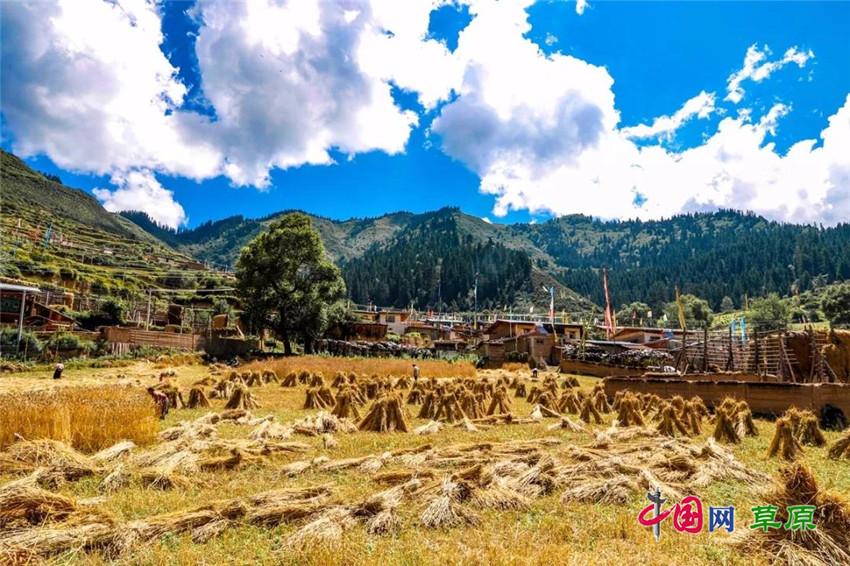 2018年8月,四川阿坝藏族羌族自治州若尔盖县热尔乡迎来青稞丰收(摄影