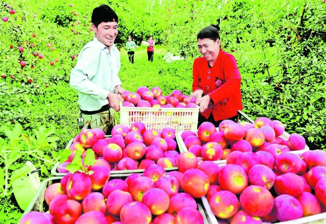 果農在阿克蘇市依桿旗鄉多浪紅果品農民合作社果園採摘蘋果 2月20日,在位於溫宿縣的阿克蘇金物聯電子商務有限公司,經過自動分選生産線分級篩選後,工人們把不同等級的蘋果裝箱存儲,這些標注為紅旗坡品牌的蘋果將根據訂單發往內地。 十城百店工程非常精準地解決了我們的銷售難題。此外,它還通過市場端的反饋,倒逼我們從規格、包裝上作出改變,變得更符合內地消費者的消費習慣。阿克蘇紅旗坡林果開發股份有限公司副總經理汪振操説,2018年,公司在浙江省銷售的農産品已達1000多萬元。 自2017年8月浙江對口援疆十