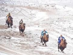 雪域草原賽駱駝