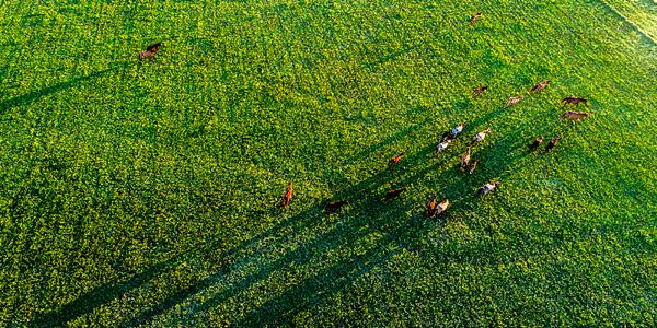 航拍綠草茵茵、牛羊成群的新疆霍城伊犁河谷濕地